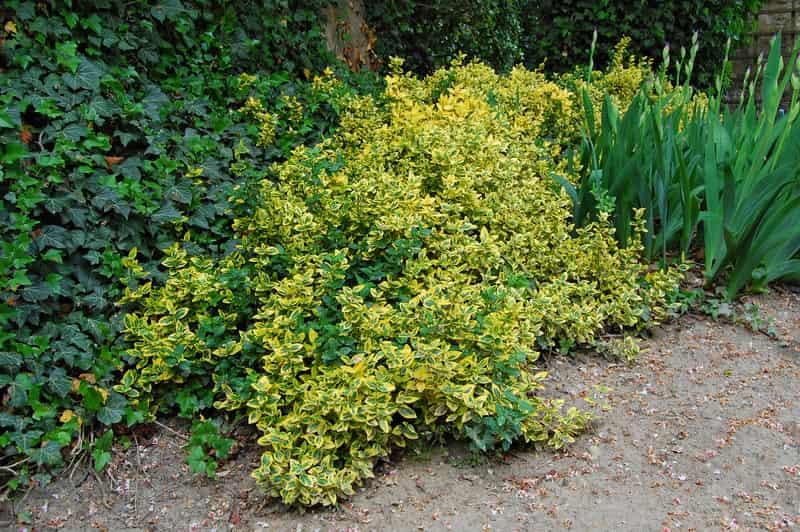 Trzmielina japońska w ogrodzie na tle innych krzewów ozdobnych, której uprawa i pielęgnacja nie są trudne