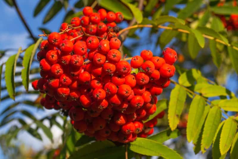 Czerwone owoce jarzębu pospolitego