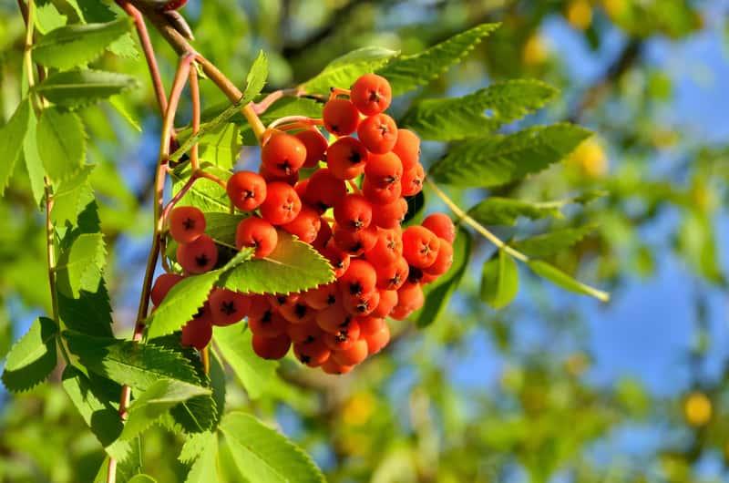 Pomarańczowe owoce jarzębiny na drzewie