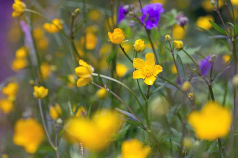 Kwitnący na żółto jaskier jadowity, który występuje na silnie zaszlamionych lub na mokrych stanowiskach. Jest to roślina trująca