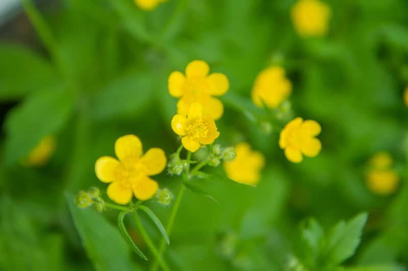 Jaskier kosmaty to roślina trująca, którą spotkać można nawet podczas spaceru. Lepiej trzymać się od niej z daleka