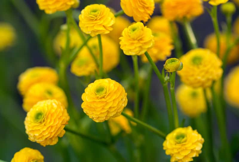 Jaskier ostry (Ranunculus acris) - opis, uprawa, pielęgnacja, odmiany