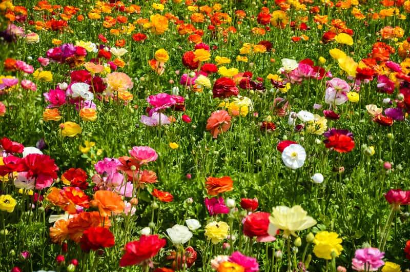 Cały ogród kwitnących jaskrów