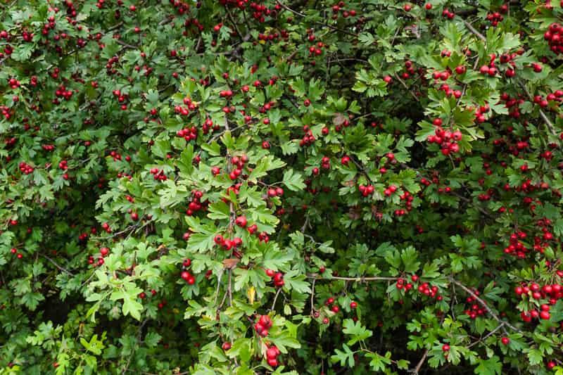 Głóg jednoszyjkowy – sadzenie, uprawa, cena, zastosowanie owoców