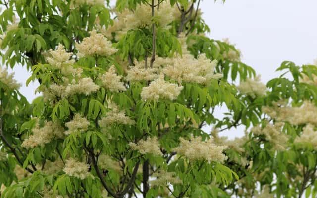 Jesion mannowy (Fraxinus ornus) - wymagania, uprawa, pielęgnacja