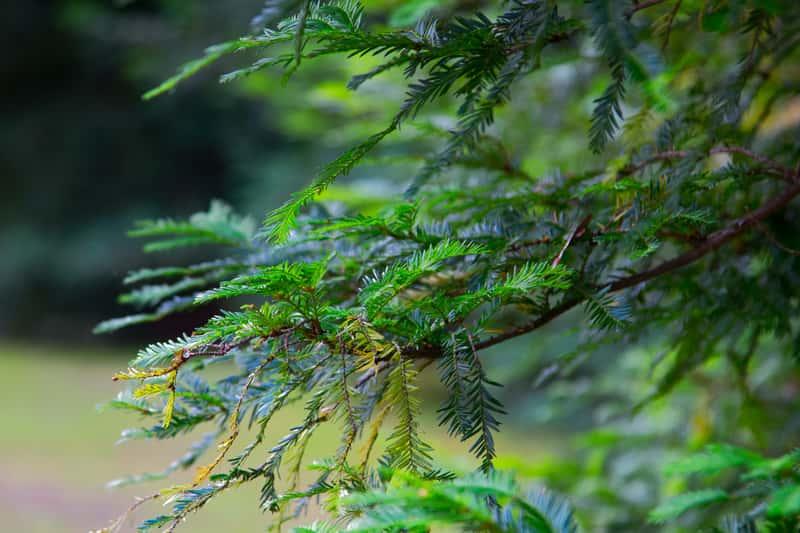 Jodla kanadyjska w zielonymi igłami