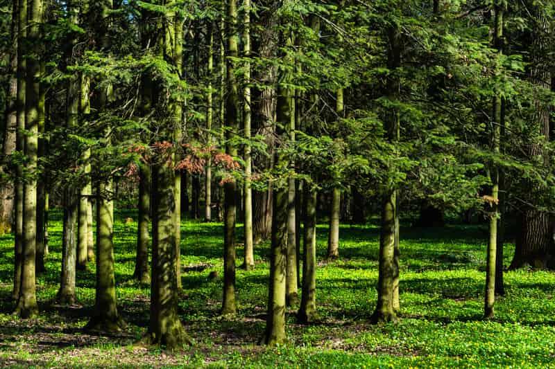 Jodła syberyjska w lesie