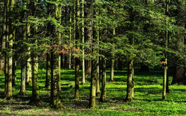 Jodła syberyjska – cena, sadzonki, uprawa, pielęgnacja w ogrodzie