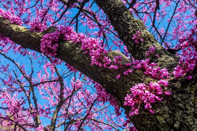 Pięknie kwitnący judaszowiec kanadyjski