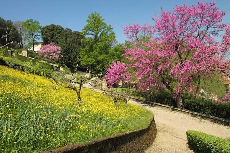 Pięknie kwitnący na różowo judaszowiec