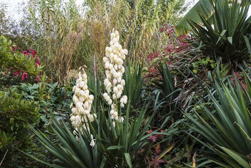 Juka ogrodowa w czasie kwitnienia