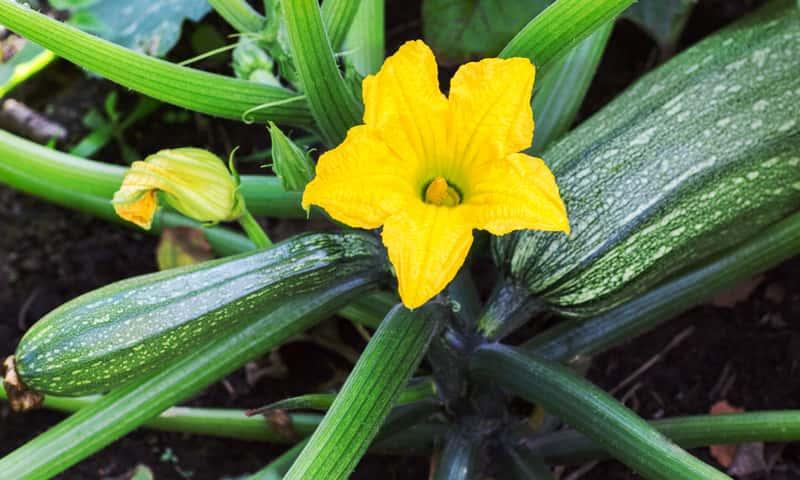 Dojrzały kabaczek w żółtym kwiatem