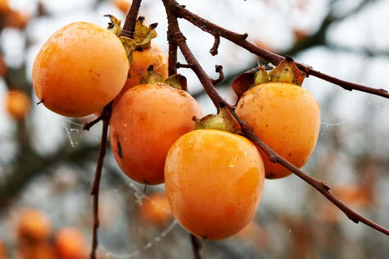 Dojrzały owoc kaki na drzewie