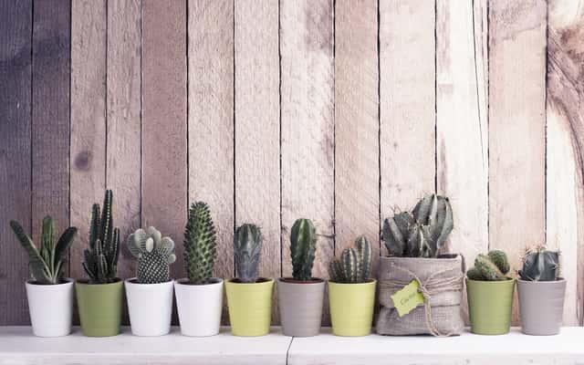 Kaktusy doniczkowe - odmiany, pielęgnacja, podlewanie, ciekawostki