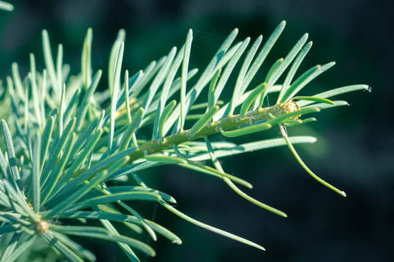 Jodła kalifornijska - cena sadzonki, uprawa, pielęgnacja, popularne odmiany, choroby