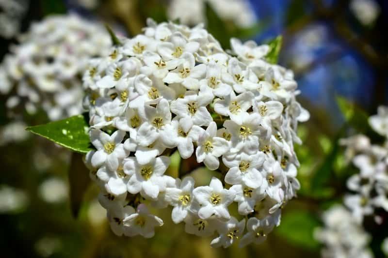 Kalina angielska w czasie kwitnienia