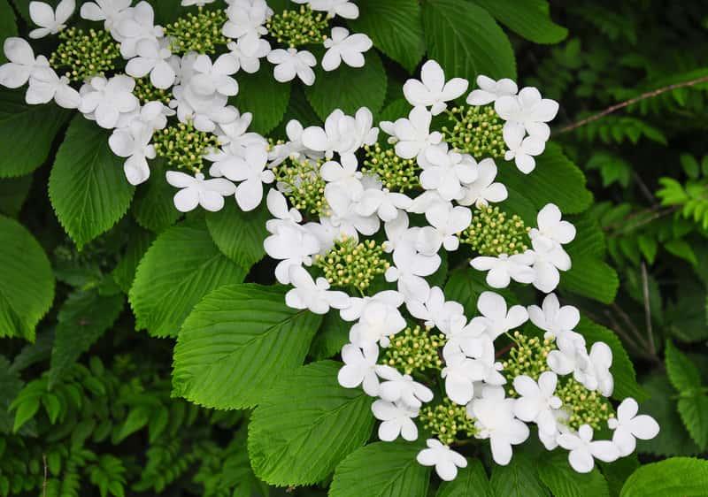 Kalina japońska w okresie kwitnienia