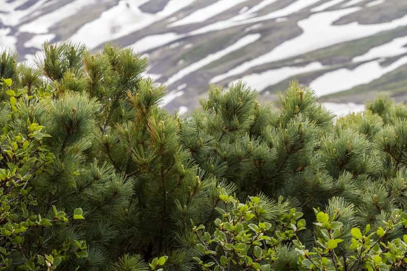 Sosna karłowata (Pinus pumila) - uprawa w ogrodzie, pielęgnacja, porady, cena