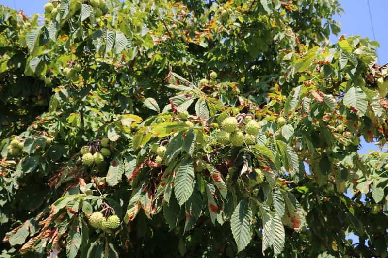 Kasztanowiec z owocami na gałęziach