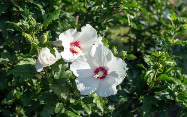 Ketmia syryjska (hibiskus) - rodzaje, odmiany, uprawa i pielęgnacja