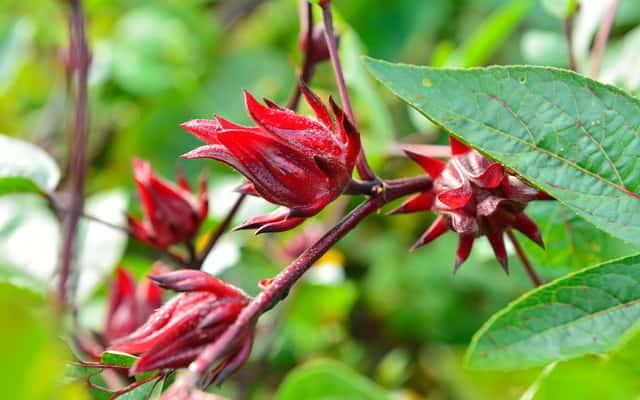 Ketmia szczawiowa – opis, występowanie, uprawa, pielęgnacja