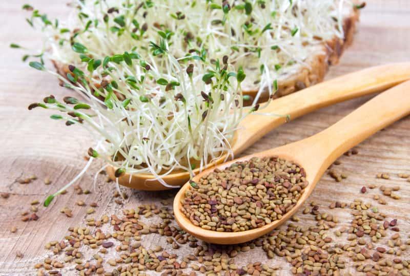 Kiełki lucerny – opis, właściwości lecznicze, wartości odżywcze, witaminy