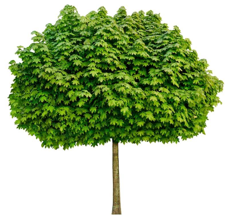 Klon globosum - pokrój drzewa