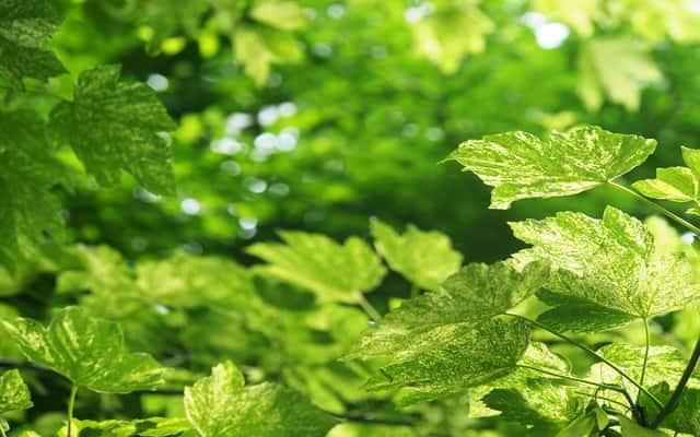 Klon jawor (Acer pseudoplatanus) - opis, sadzenie, pielęgnacja, porady