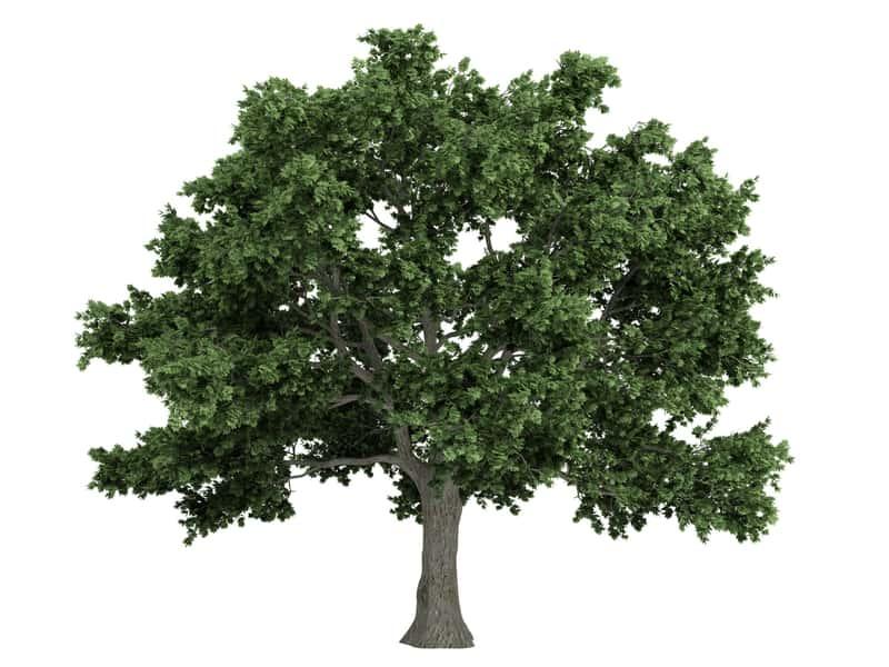 Klon kanadyjski - pokrój drzewa