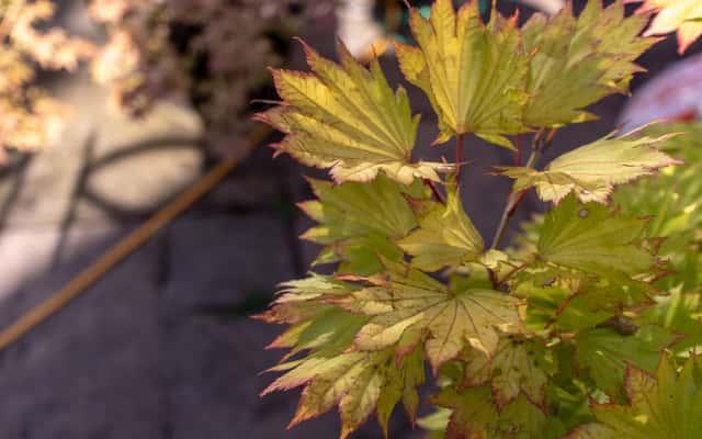 Klon palmowy Orange Dream - sadzenie, uprawa, pielęgnacja, przycinanie
