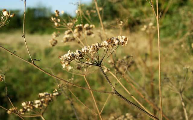 Kminek - uprawa w ogrodzie, właściwości, zastosowanie w kuchni