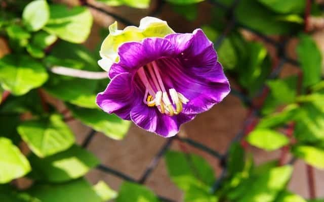Kobea pnąca – wysiew, uprawa, nawożenie, wymagania, sadzonki