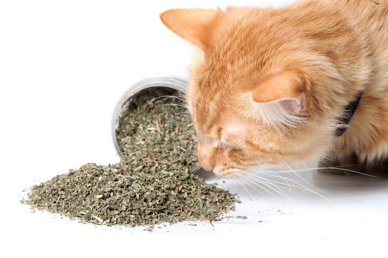 Rudy kot wąchający kocimiętkę