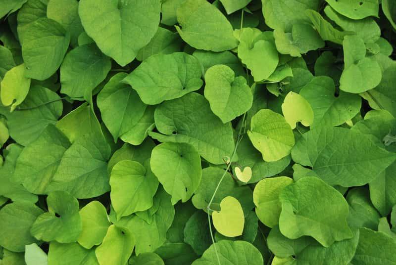 Zielone liście kokornaku wielkolistnego