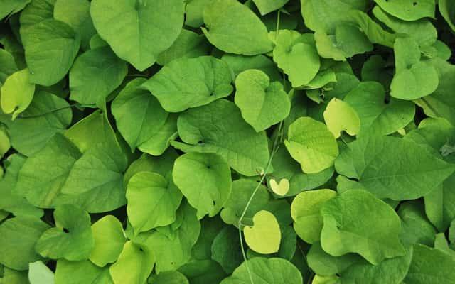Kokornak wielkolistny – sadzenie, uprawa, pielęgnacja, rozmnażanie, choroby