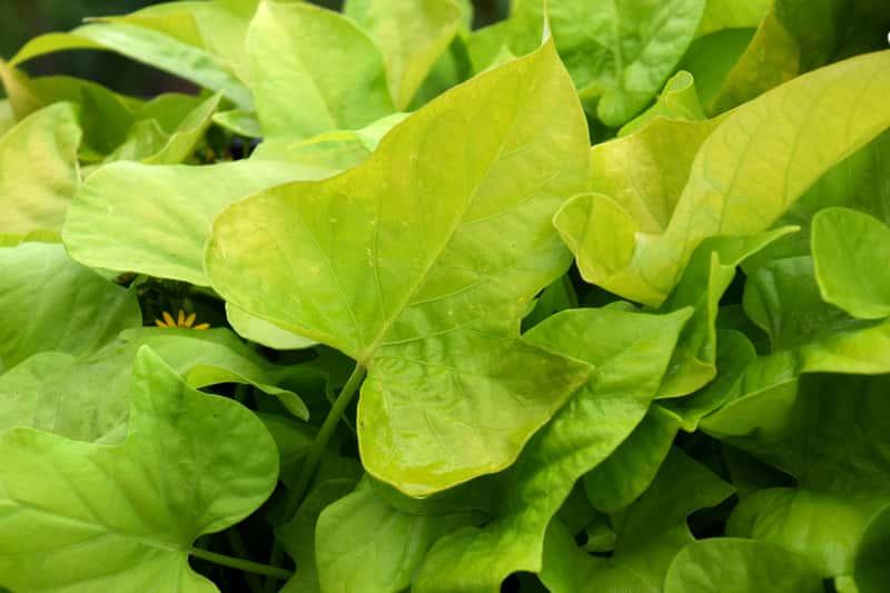Zielone liście kokornaku