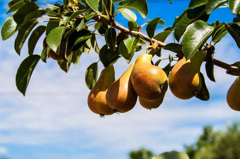 Konferencja z gruszkami na drzewie