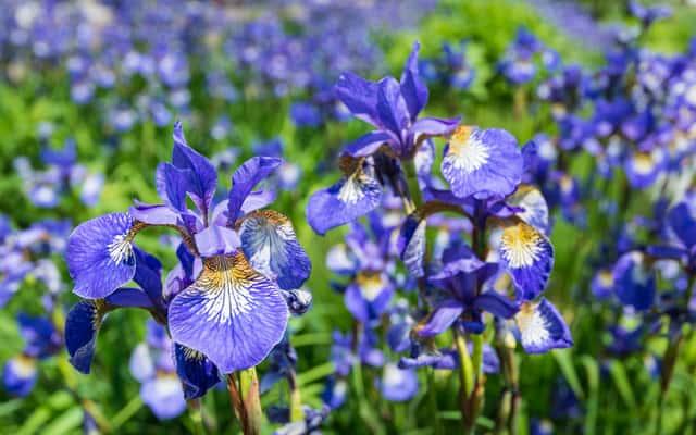 Kosaciec syberyjski (irys) - odmiany, wymagania, sadzenie, uprawa, pielęgnacja