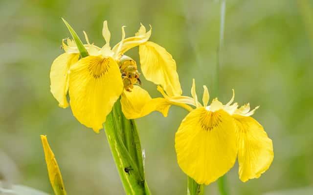 Kosaciec żółty (irys żółty) – odmiany, uprawa, pielęgnacja, ciekawostki