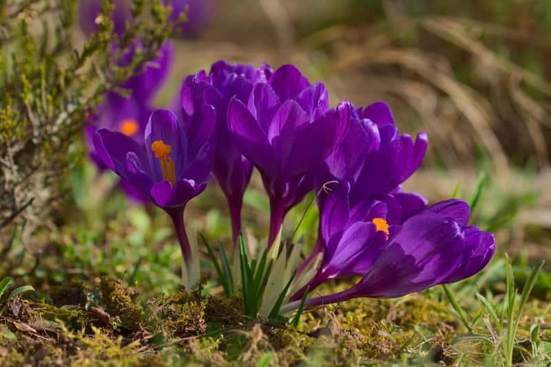 Krokus w okresie kwitnienia