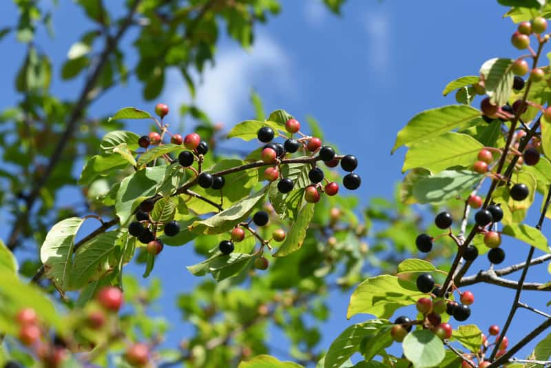 Owoce kruszyny pospolitej na krzewie