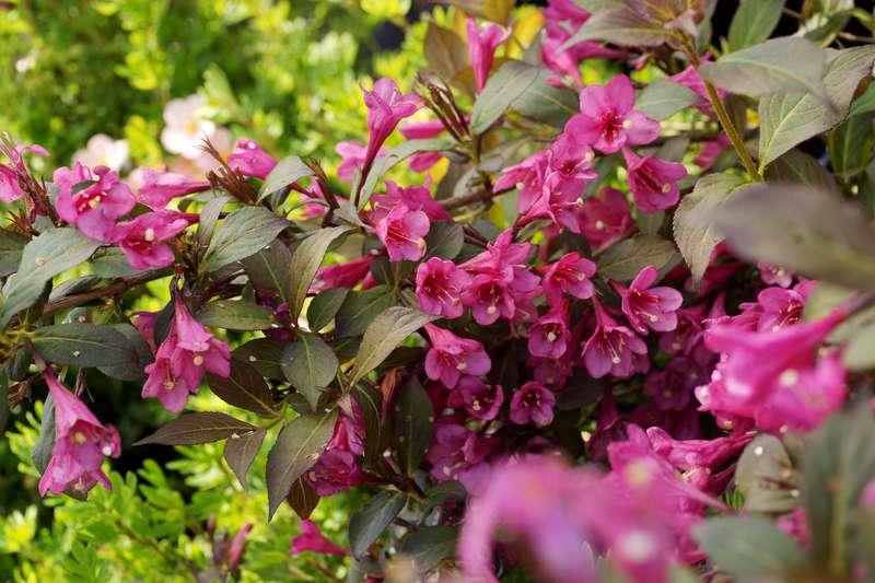 Krzewuszka cudowna w okresie kwitnienia