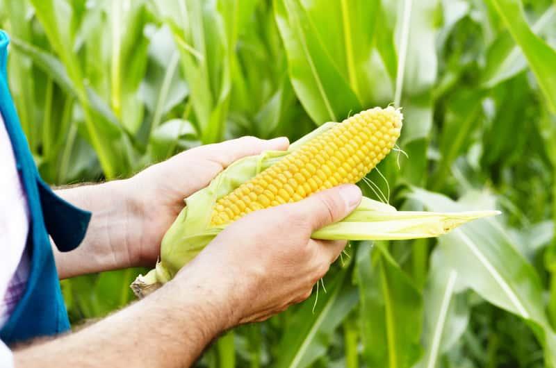 Kolba kukurydzy w ogrodzie