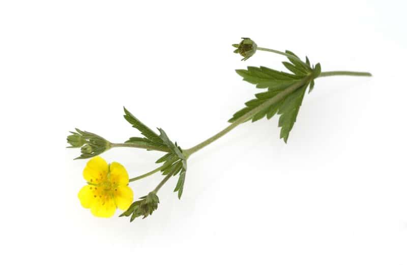 Pięciornik kurze ziele - uprawa, właściwości lecznicze, zastosowanie w medycynie