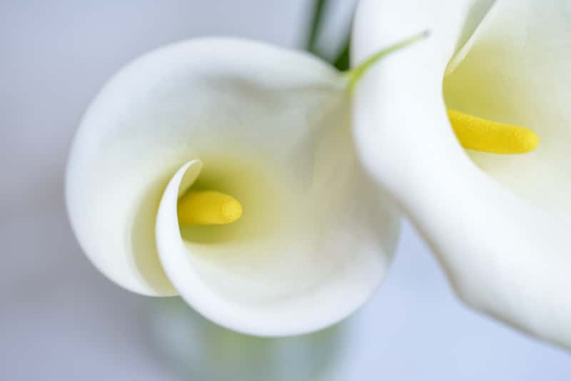 Cantedeskia (kwiat Zantedeschia) - uprawa, pielęgnacja w ogrodzie i doniczce