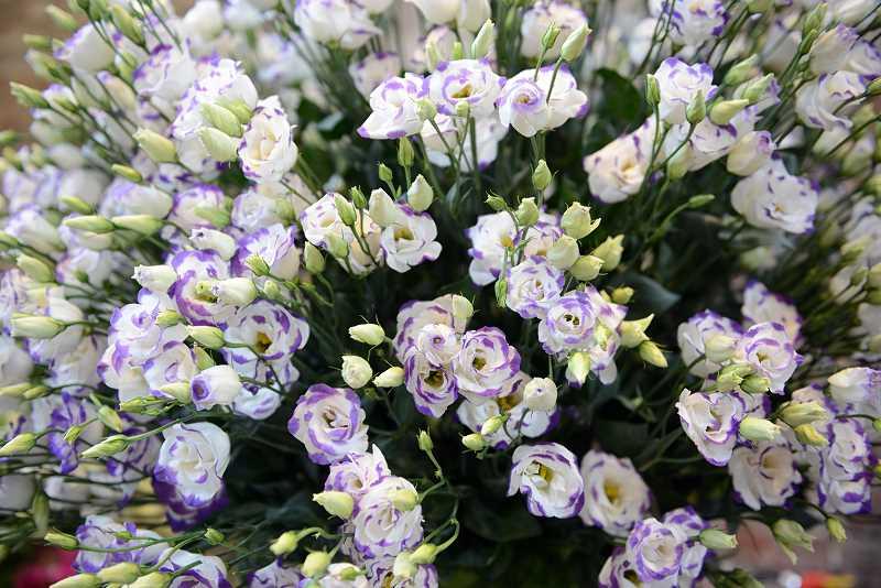 Eustoma - idealny kwiat ogrodowy