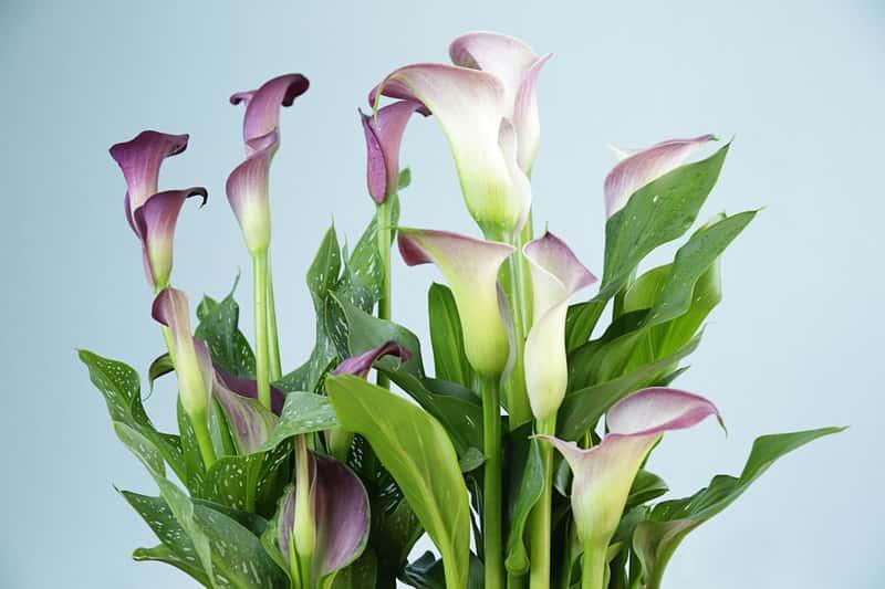Kwiat kalia w domu - uprawa, pielęgnacja, podlewanie pięknego kwiatu doniczkowego