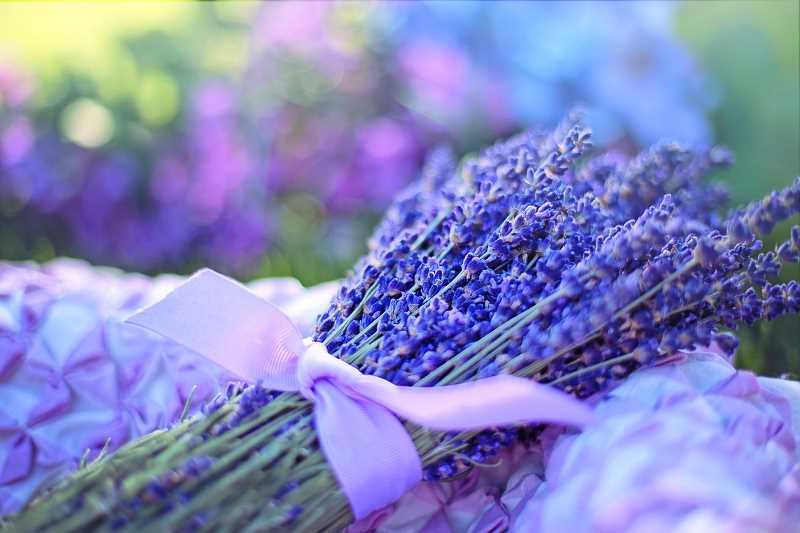 odpowiednio przycięta lawenda to gwarancja dużej ilości kwiatów