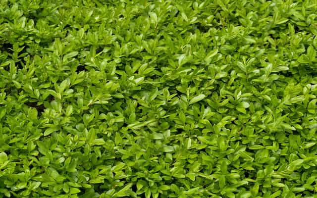 Ligustr - odmiany, sadzenie, uprawa, pielęgnacja, cięcie, rozmnażanie