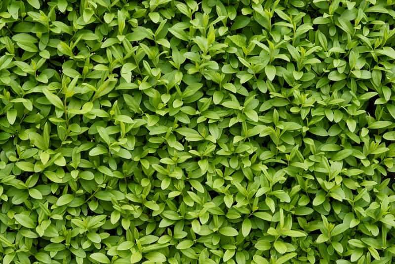 Ligustr zimozielony - ceny sadzonek, opis, uprawa na żywopłot, przycinanie